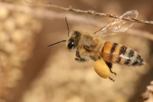 Apis_mellifera_flying2