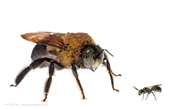 Two species of Carpenter bees with an amazing contrast in size.