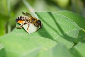 Leafcutter_bee_by_Bernhard_plank