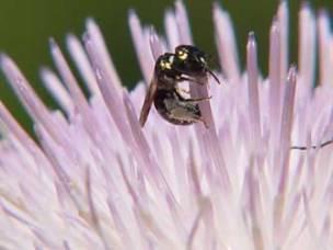 small-carpenter-bee-thistle