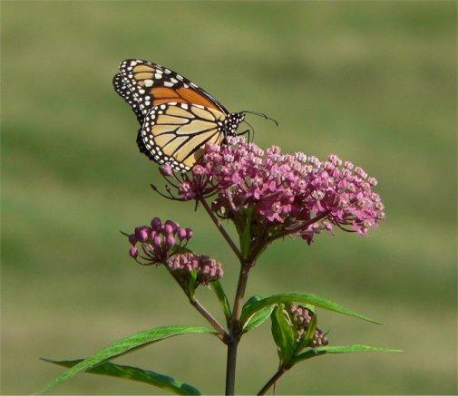 Swamp_milkweed_monarch