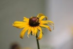 Dust of pollen rests on this Black-eyed Susan, tempting many flying visitors.