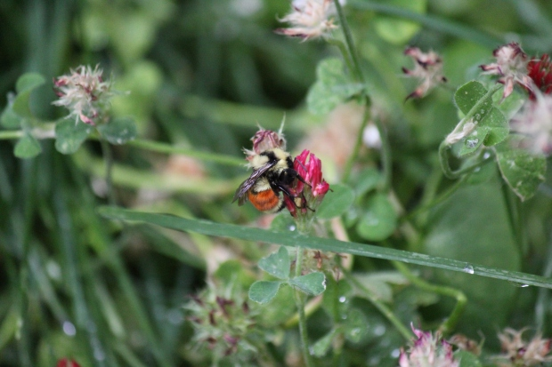 Bumblebee on clover blossom
