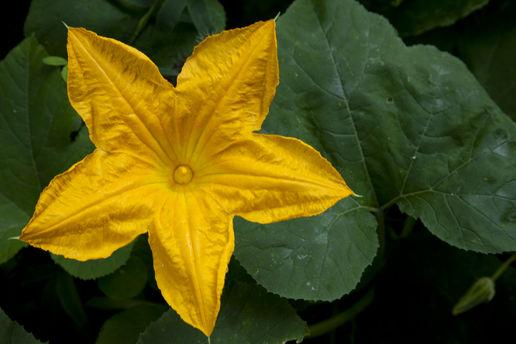 lots-of-pumpkin-flowers-1