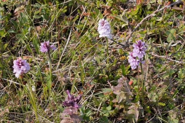 arctic orchids