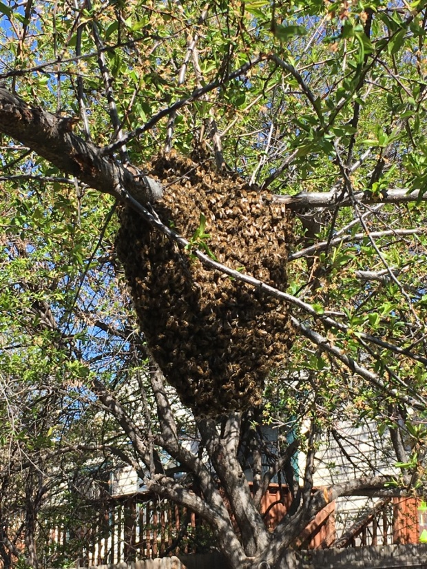 Swarm of Honeybees on tree branch