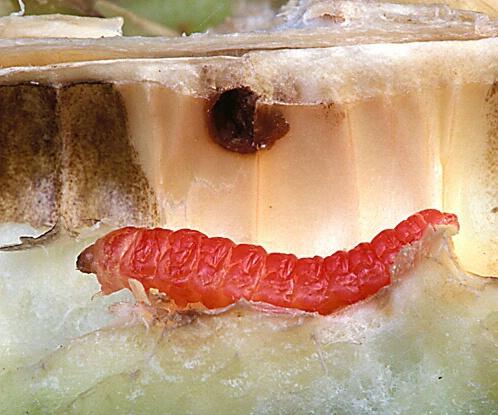yucca larvae