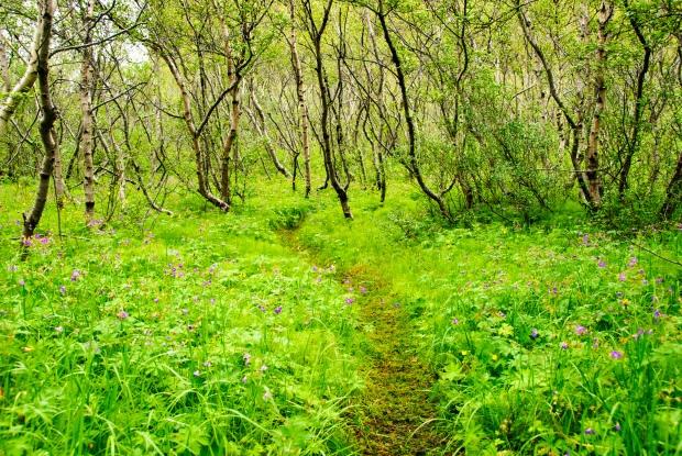 forest-asbyrgi-iceland