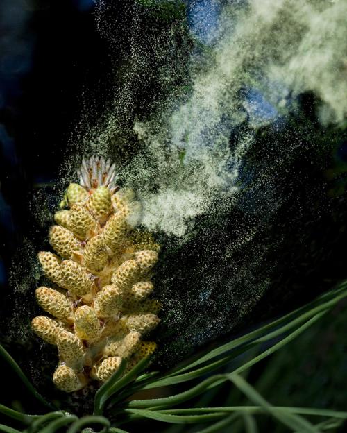 conifer pollen release